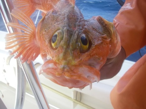 black belly rosefish caught deep drop fishing in FL Keys