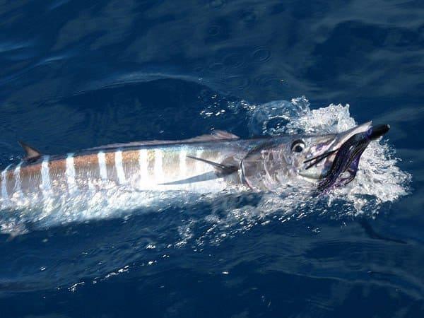 wahoo trolling on Marathon ocean fishing charter