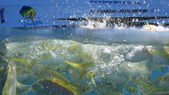 reef fishing charter in Marathon FL with yellowtail