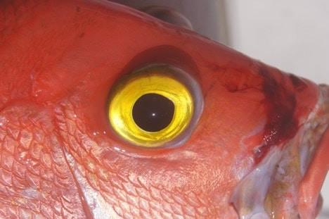 yellow eye caught deep dropping off Marathon FL Keys
